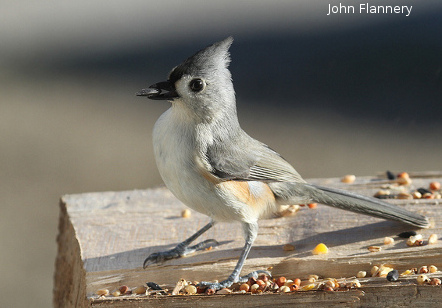 Tufted Titmouse: John Flannery